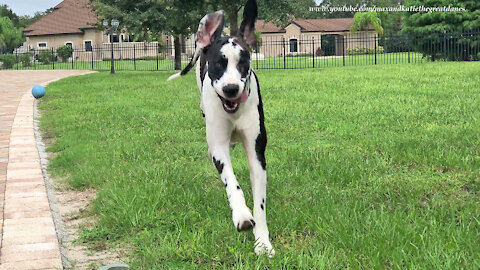 Funny Great Dane Would Rather Play Than Work