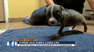 3-week-old puppy loses leg - Video