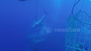 Terrifying Moment Great White Breaks Into Diving Cage - Video