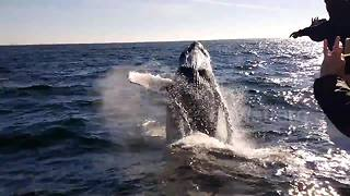 The amazing moment a humpback whale breaches next to a boat - Video