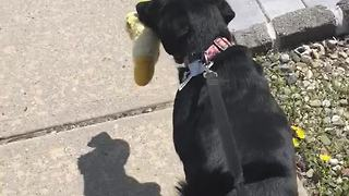 Dog takes favorite toy with her on walk - Video