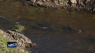 Great Outdoors: Coho salmon spawning in Kewaunee - Video