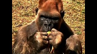 Gorilla Dating - Video