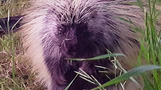 Abandoned baby porcupine thinks human is mother