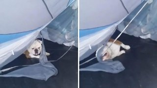 That's in-tents! Mischievous bulldog puppy tears apart owner's tent