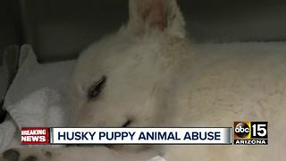 Months-old husky pup suffers skull fracture - Video