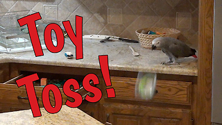 Mischievous Parrot Throws Toys On Floor And Then Hides