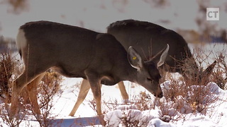 """Zombie Deer"" Disease Could Spread To Humans - Video"