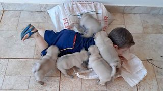 Attack of the pugs: Tot plays with adorable puppies