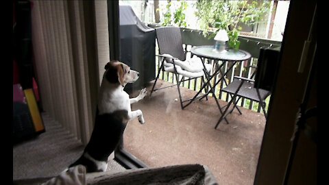 Montage of Beagle terrorizing a Squirrel