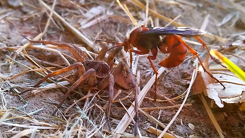 Spider Vs Wasp In Battle To The Death: SNAPPED IN THE WILD