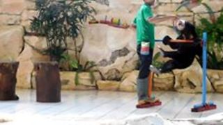 Bear Forced to Perform Tricks on Slippery Floor for Food