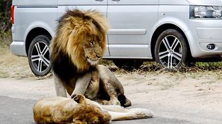 Kitty Got Claws! Lions Cause Traffic To Build By Mating In The Road - Video