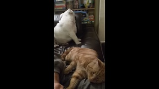 Sulking Bulldog extremely jealous of cat's attention - Video