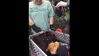 Corgi hilariously can't stop digging in the dirt - Video