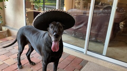 Sombrero-wearing Great Danes enjoy a taste of tacos