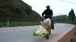 Farmer rides pig along busy road - Video