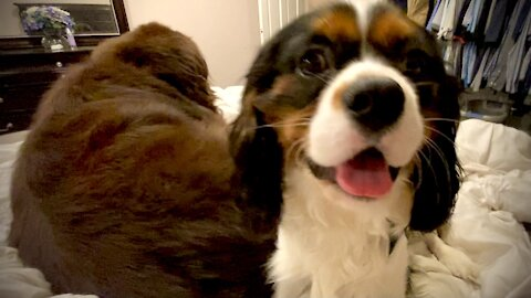 Newfie and Cavalier puppy make it hard for owner to sleep