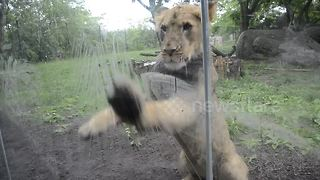 Lion cub really wants the umbrella - Video