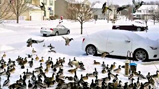 Massive duck swarm covers entire front lawn when bird feeder is filled