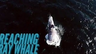 California Drone Captures Spectacular Grey Whale Breach - Video