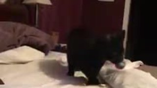 Kitten surprisingly efficient at playing fetch - Video
