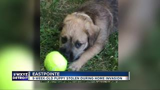 Boy's puppy stolen during break-in at home in Eastpointe - Video
