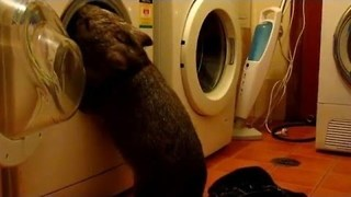 Curious Wombat Does the Laundry - Video