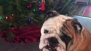 Bulldog Prepares For A Naughty Christmas - Video
