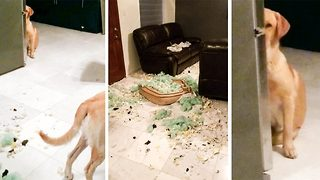 """it wasn't me"" – Guilty looking pooch hides after appearing to ransack his home  - Video"