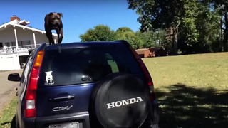 Dog Has Amazing Jumping Skills  - Video