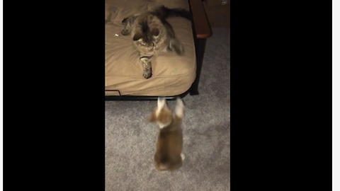 Cat refuses to let corgi puppy on bed