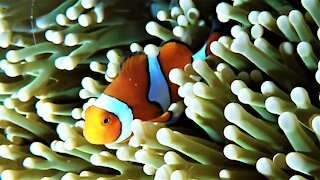 Beautiful clown fish live among these deadly sea anemones
