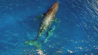 Incredible Drone And Underwater Footage Of Humpback Whales - Video