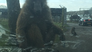 Baboons in safari park completely swarm vehicle - Video