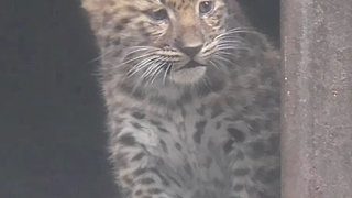 Amur leopard cubs emerge from zoo den - Video