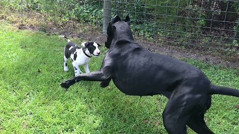 Pouncing & bouncing Great Dane plays with 9-week-old puppy