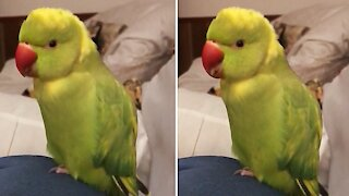 "Talking parrot says ""choo-choo train"" with the cutest voice ever"