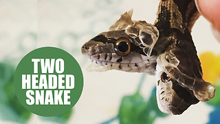 Two-headed SNAKE which is being raised by a family after it was discovered in a back yard - Video