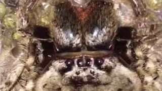 Giant Huntsman Spider Gives Birth to Hundreds of Babies - Video