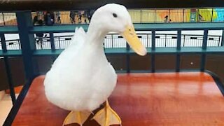 Duck shows off its drumming skills