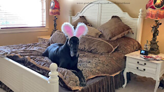 Great Dane does bunny ear head toss for Easter