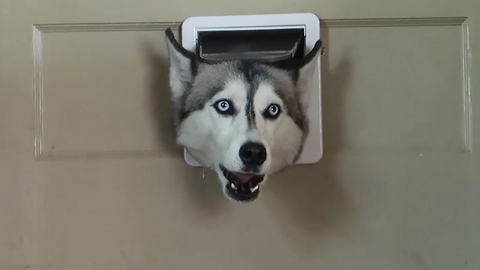 Husky Greets Her Owners Through A Tiny Doggy Door