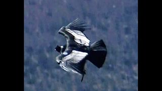 Condors Released Into Wild - Video