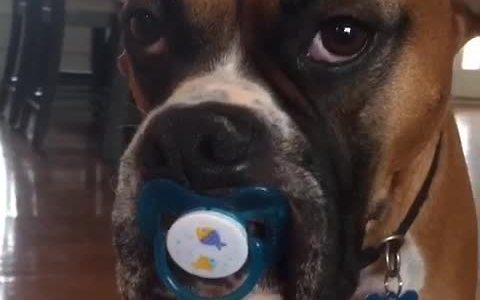 Dog refuses to let go of pacifier