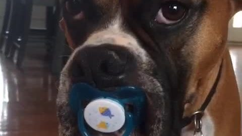 This boxer never wants to grow up, and that's just fine!