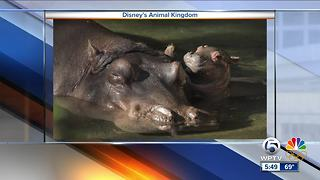 Disney announces birth of baby hippo - Video