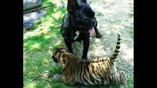 Bulldog Adopts Tiger - Video