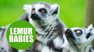 Baby lemurs born at Yorkshire zoo spotted loving the warm weather