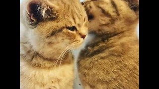 5-Month-Old Cats Lovingly Groom Each Other - Video